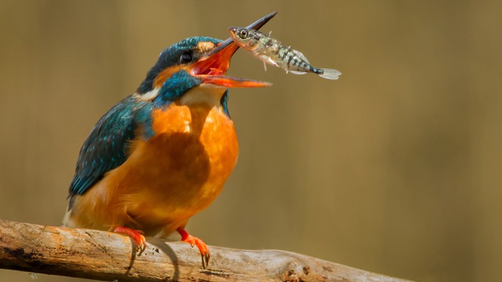 Kingfisher with Stickleback fish